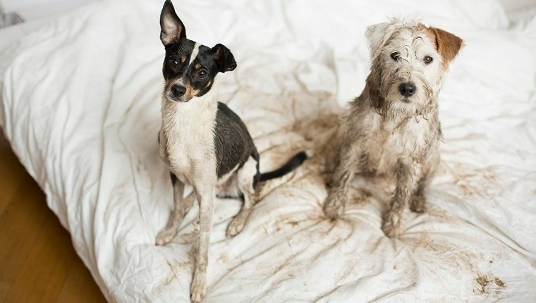 Two naughty muddy dogs sitting on a bed.