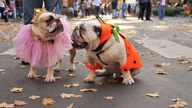 Two bulldogs dressed-up for Halloween.
