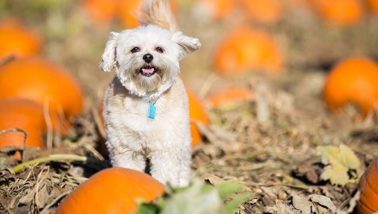 A small dog smiles happily while standing in a pumpkin patch.