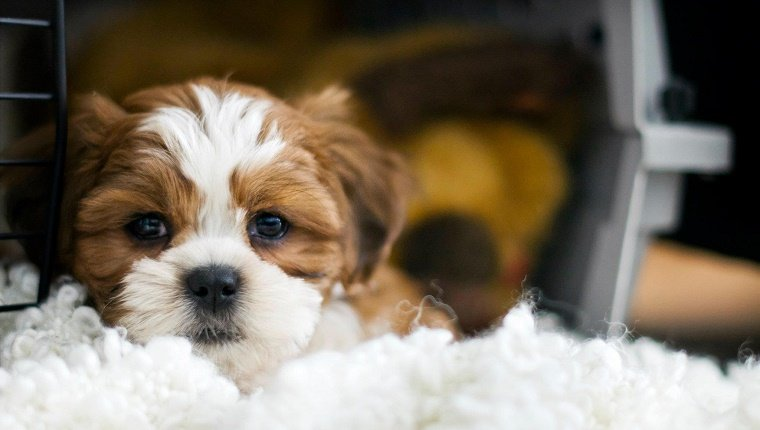 Dexter, the 8 week old bichon/shih-tzu puppy hanging out in his crate
