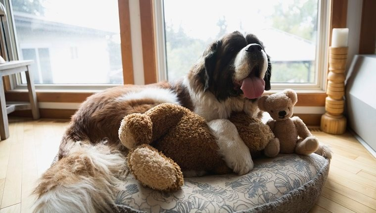 Saint Bernard dog laying stuffed animals dog bed