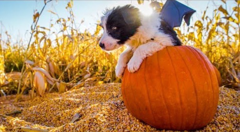 puppies with the spooky halloween spirit  video