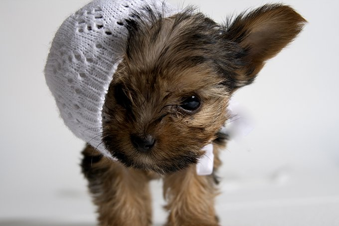 tea cup yorkie images teacup yorkie puppies dogtime 3809