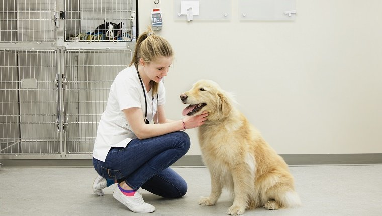 Veterinarian examining a golden retriever