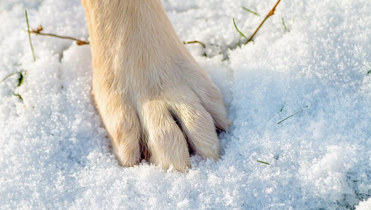Close-up of one animal legs, big animal foot, paw of dog in fresh snow. You have to take care of dog's pad in the snow, and especially with the optional salt in.