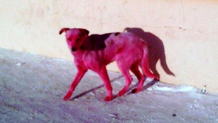 pink-stray-dog-dyed-russia-3