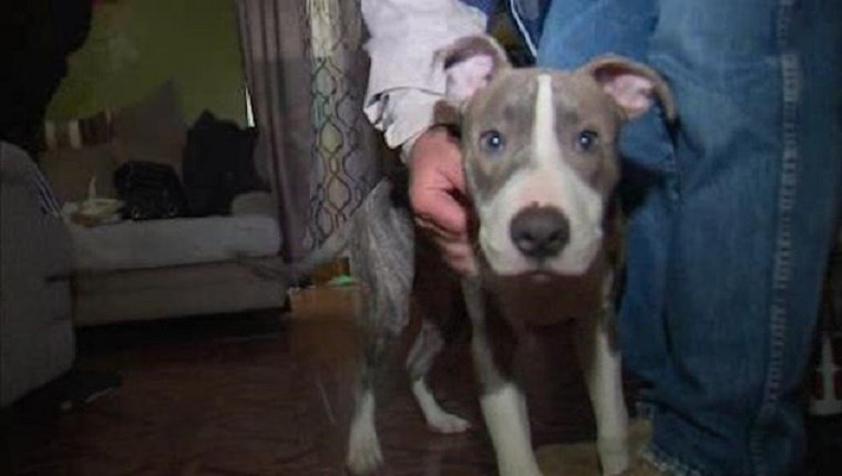 pit-bull-puppy-saves-teen-from-rapist