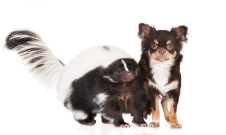 What To Do When Your Dog Gets Skunked