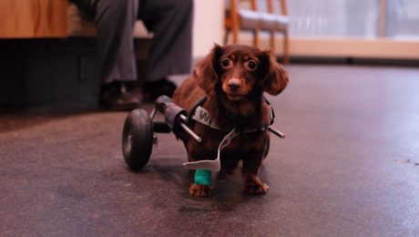 Injured Dachshund Dumped In A Garbage Bag Gets New Wheels And A New Life