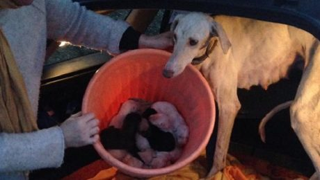 Mama Greyhound With A Broken Leg Leads Vets On Two-Mile Walk To Her Puppies