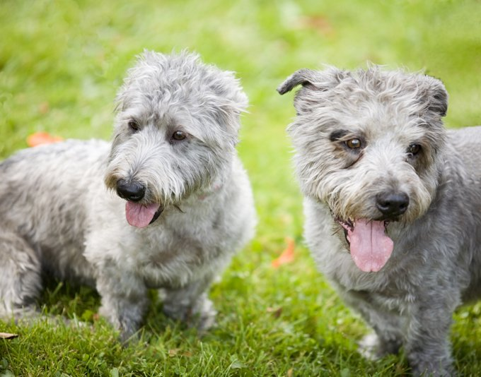 Irish Dog Breeds Picture Gallery Dogtime
