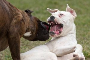 April 8th is Dog Fighting Day – Here Are The Tell Tale Signs of A Dog Fighting Ring Near You