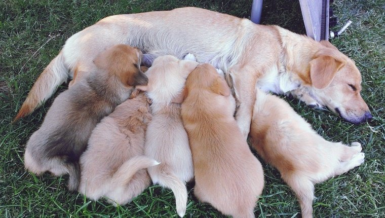 High Angle View Of Dog Feeding Puppies On Field
