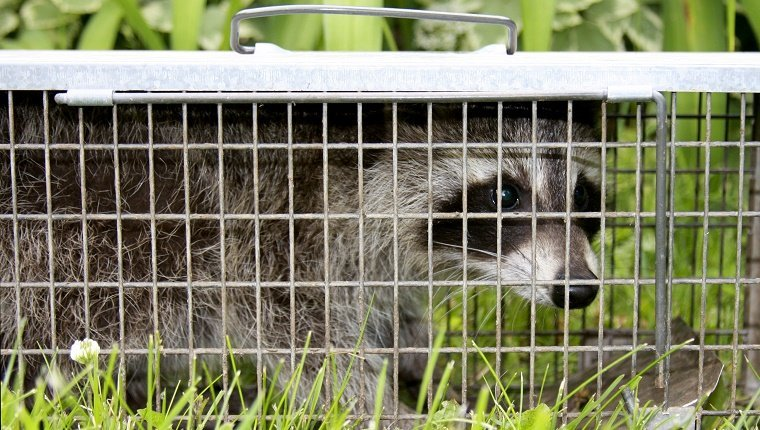 Raccoon or Procyon Lotor is caught in a live trap to prevent harm to the animal