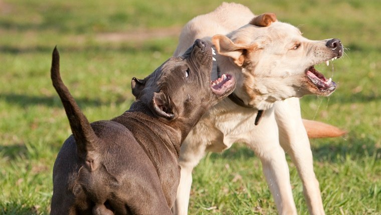 2 agressive dogs: labrador retriever fight with pitbull terrier