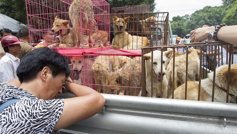 An femle activist protests and try their best to rescue dogs are caged at a free market ahead of the Yulin Dog Eating Festival in Yulin city, south China's Guangxi Zhuang Autonomous Region on 20th June 2014. About 10,000 dogs will be slaughtered for their meat at the Lychee and Dog Meat Festival in Yulin in Guangxi province on Sunday and Monday to mark the summer solstice, state media said.he tradition of eating dog meat dates back four or five hundred years in China, South Korea and other countries, as it is believed to ward off the heat of the summer months, according to state news agency Xinhua. (Photo by Jie Zhao/Corbis via Getty Images)