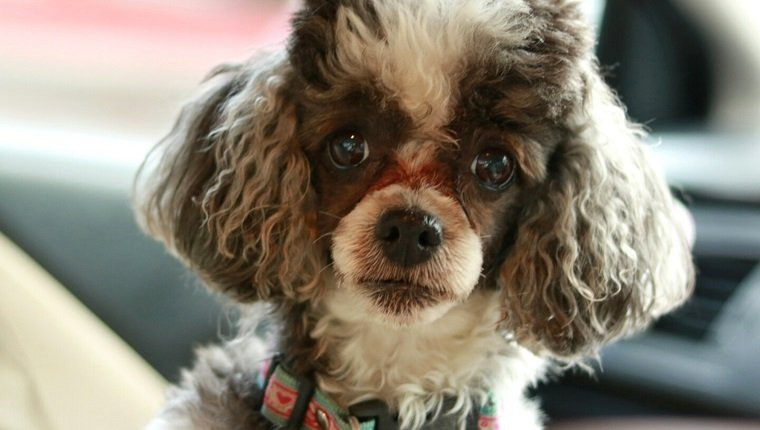 Tear Stains Under Dogs' Eyes: What They Mean And What You Should Do