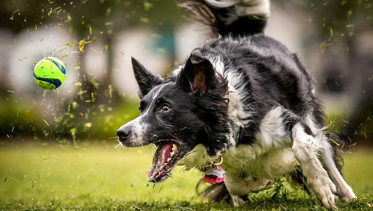 A black and white Border Collie sprints after a ball in the grass.