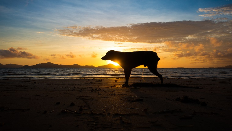 Wild dog peeing on a tropical beach during sunrise - Sibaltan, Palawan - Philippines