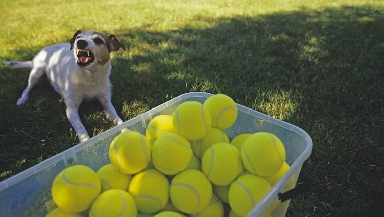 Jack Russell Terrier (Parson Jack Russell Terrier) in back yard on a sunny day in the shade growling and protecting a bin of tennis balls.