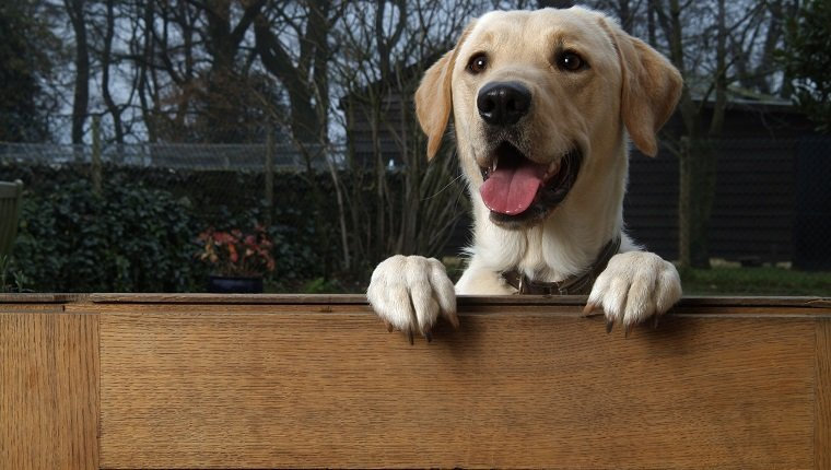 Labrador dog rearing up with front paws on wooden fence