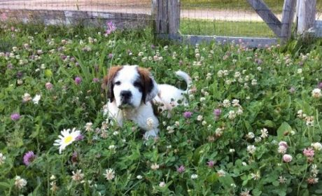 Deaf St. Bernard Puppy Named Frances Loves Her Goats [VIDEO]