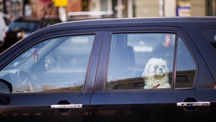 Small white dog waiting in car