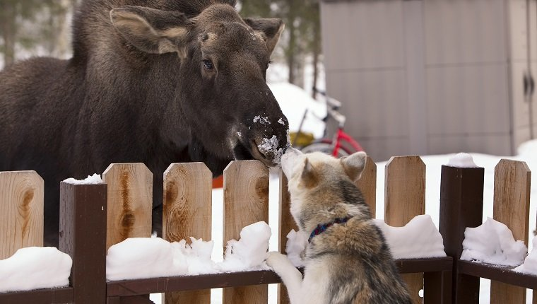 Siberian Husky And A Moose Calf Nose To Nose Over A Picket Fence, Wasilla, Southcentral Alaska, Winter