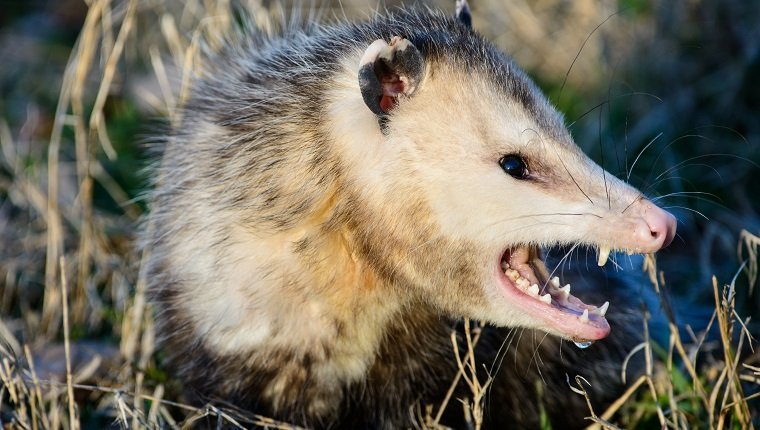 An opossum,commonly called possum, is displaying a fiercs snarl.