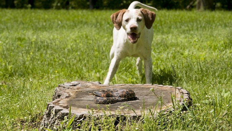 Belle, a German short hair Pointer, finding and enjoying teasing a hognose snake- lightly despeckled