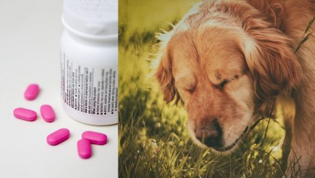 Benadryl For Dogs: Dosage, Uses, And Side Effects