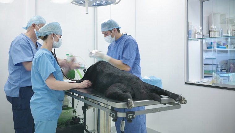 Vets wearing surgical scrubs in veterinary operating theatre, dog on operating table