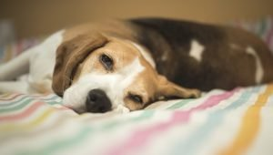 Hypoglycemia In Dogs: Symptoms, Causes, And Treatments