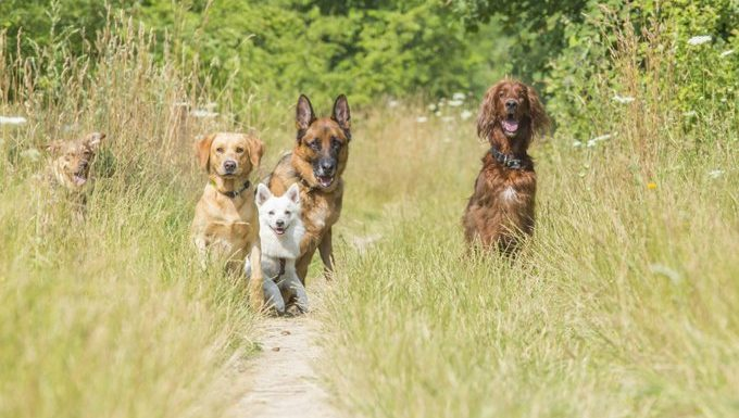 group of dogs on a path in a field
