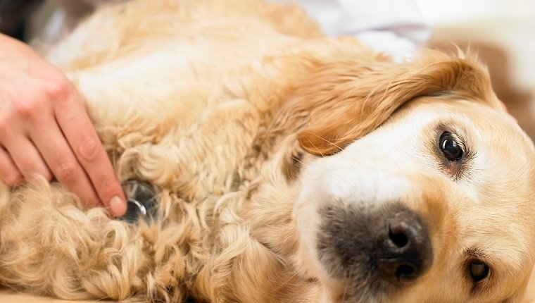 dog skin dogtime lupus in dogs symptoms causes diagnosis