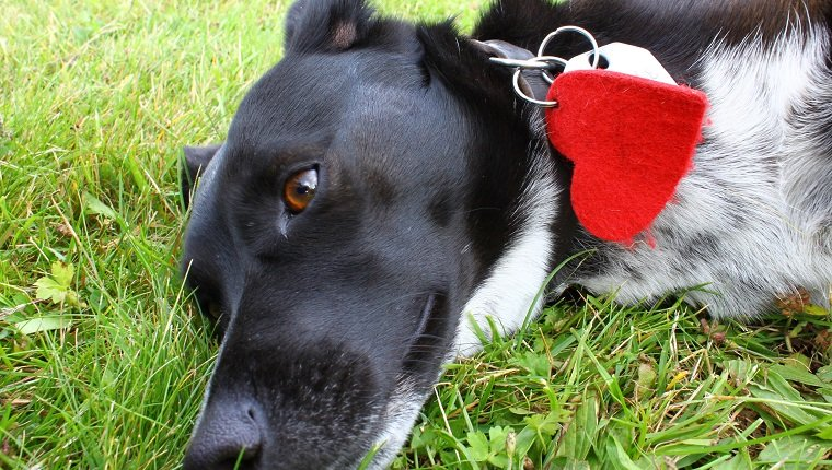 Cute black dog's head with a red heart on his collar lying in grass