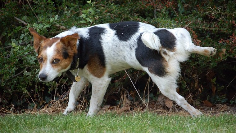 Young jack russell terrier dog urinating against a garden hedge, whilst looking towards camera.