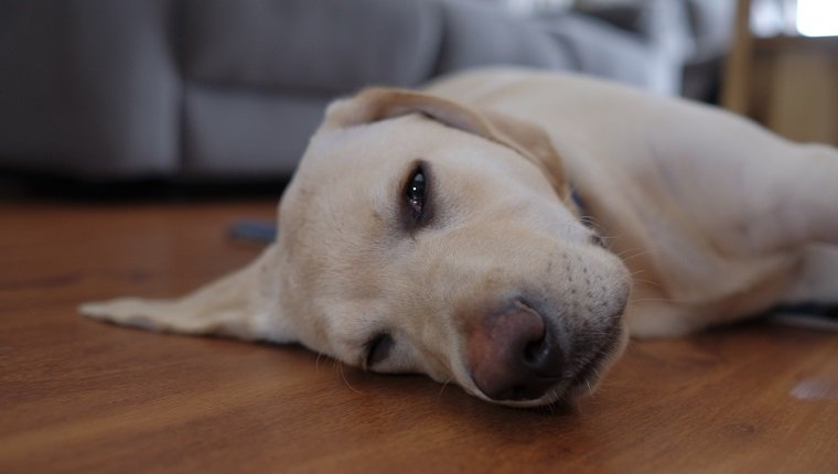 A lazy golden Labrador puppy laying around on a lounge room floor.
