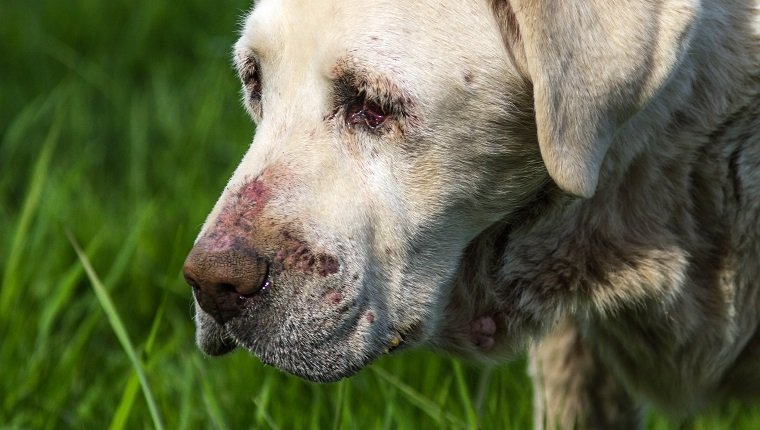 Close-up image of senior White Labrador dog in poor health.
