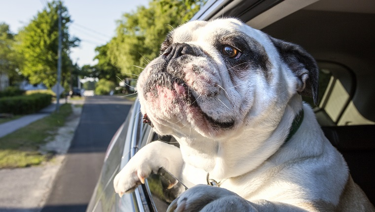 English Bulldog riding with head out of car window
