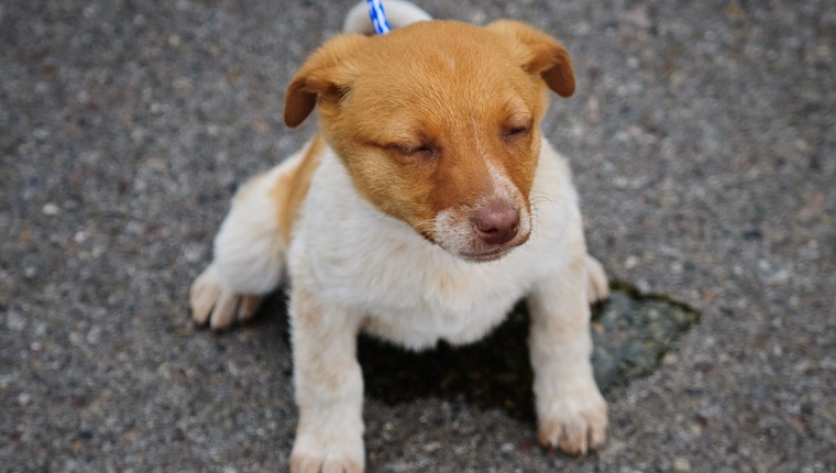 A puppy peeing from a local dog adoption