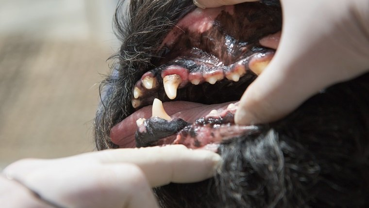 Gingivitis In Dogs: Symptoms, Causes, & Treatments - Dogtime