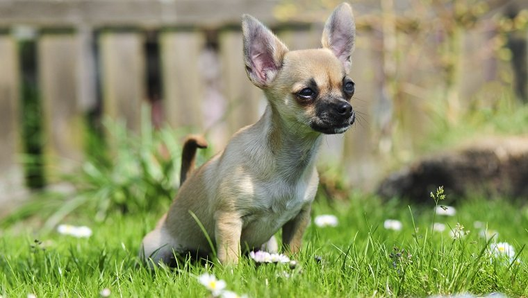 Chihuahua puppy does Pipi in the grass.