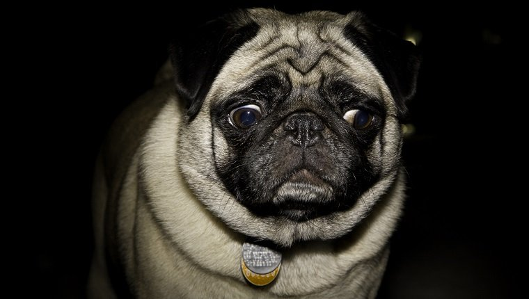 Pug dog making skeptical confused face against black background with dramatic gridded lighting.