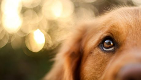 Nystagmus (Unintentional Eye Movement) In Dogs: Symptoms, Causes, & Treatments