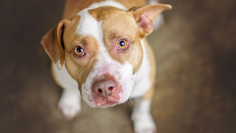 Tan and white pit bull dog in shelter.