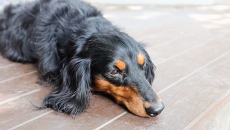 Polycythemia In Dogs: Symptoms, Causes, & Treatments