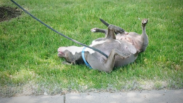 American Pit Bull Terrier Scratching On Grassy Field