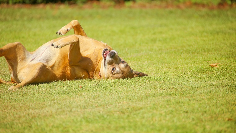 Mixed breed dog scratching her back on the grass on a sunny day.