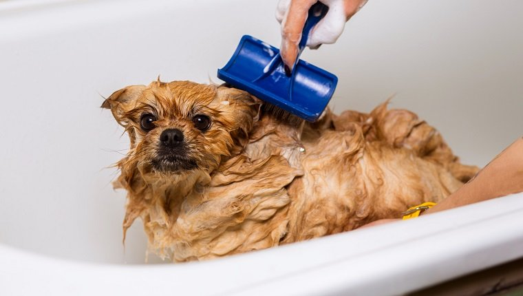 Groomer combing wet dog in the bathroom, grooming spitz. Taking care of pets
